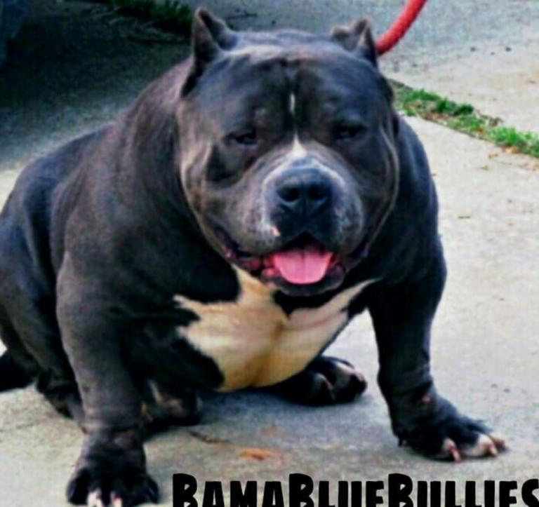 xl american bully kennels