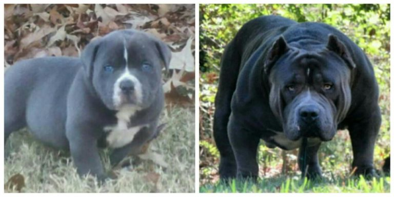 pitbull puppies black and white