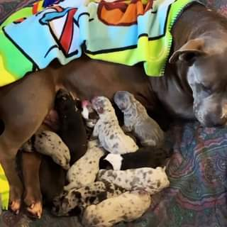 #Bamanews We are blessed with 13 beautiful puppies and they are biggg If you're …