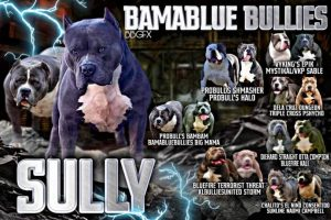 #Bamanews Big Sully BlueThis big guy is ready to put some heavy weights on the g…