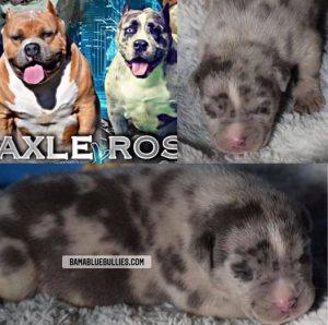 #Bamanews Beautiful Merle male at 2 weeks  BAMABLUEBULLIES.COM  #merlebully  #am…