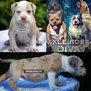 #Bamanews This beautiful champagne Merle girl turned 7 weeks today  BAMABLUEBULL…
