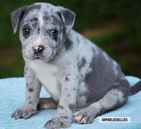 #Bamanews Beautiful Merle male just turned 8 weeks BAMABLUEBULLIES.COM #merlebul…