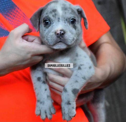 #Bamanews Beautiful Merle boy just turned 8 weeks BamaBlueBullies.com #Merlebull…